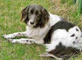 Афган колли, фото породы собак фотография