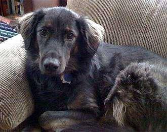 Афадор (Afador Dog), фото породы собак фотография