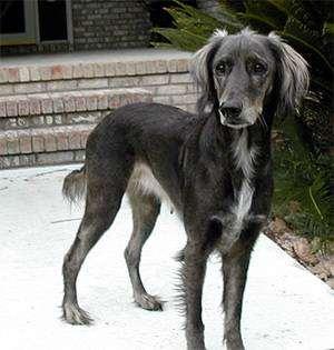 Афадор (Afador Dog), фото помесь афганской борзой и лабрадора ретривера, фото породы собак фотография