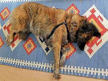 Афганская овчарка (Afghan Sheepdog), фото породы собак фотография помесь афганской и бельгийской овчарок