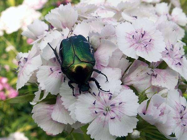 Золотистая бронзовка (Cetonia aurata, Scarabaeus auratus), фото жуки, фотография насекомые