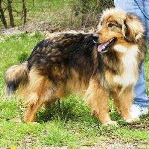 Афолли (Afollie Dog), фото породы собак фотография