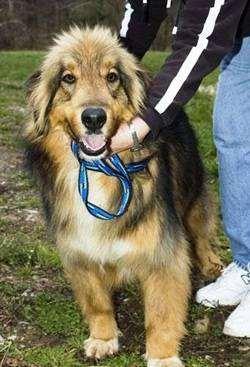 Афолли порода собак, фото фотография помесь афганской борзой и колли