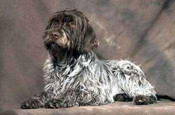 Аффен спаниель (Affen Spaniel), фото породы собак фотография