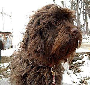 Аффен спаниель (Affen Spaniel), фото породы собак фотография помесь аффенпинчера и кокер спаниеля