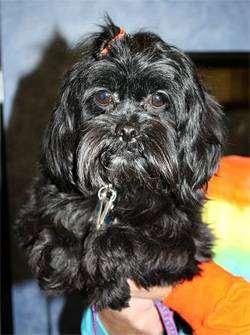 Аффен тцу (Affen tzu), фото породы собак фотография