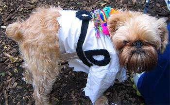Аффен грифон (Affengriffon), фото породы собак фотография
