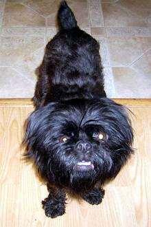 Аффен грифон, фото породы собак фотография, помесь аффенпинчера с брюссельским гриффоном