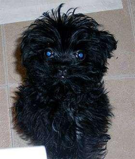 Аффенпу (Affenpoo, Affen-poo) щенок, фото породы собак фотография