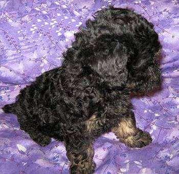 Аффенпу (Affenpoo, Affen-poo) щенок, фото породы собак фотография помесь аффенпинчера с пуделем