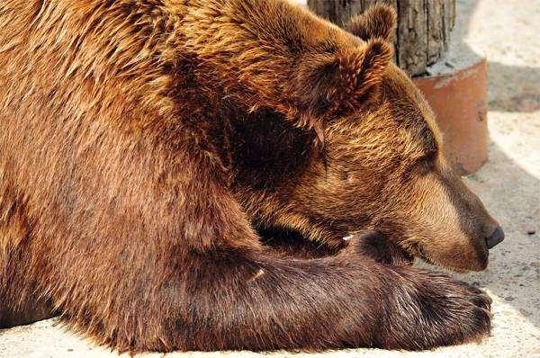 Бурый медведь (Ursus arctos), фото хищники, фотография