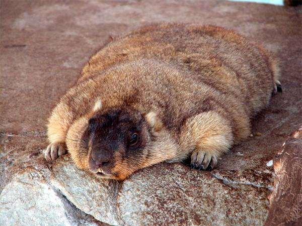 Степной сурок, или байбак (Marmota bobak), грызуны фото фотография