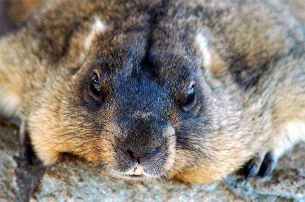 Степной сурок, или байбак (Marmota bobak), фото фотография грызуны