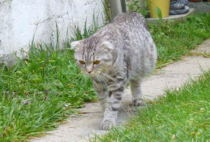 признаки коронавируса кошек