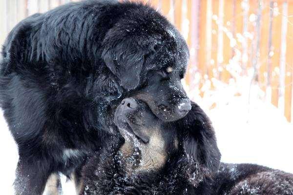 Тибетский мастиф фото собаки породы