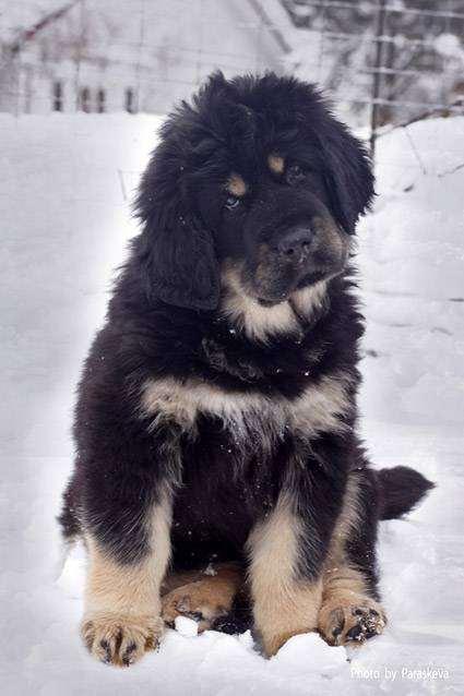 Щенок тибетского мастифа, собаки фото, породы собак фотография