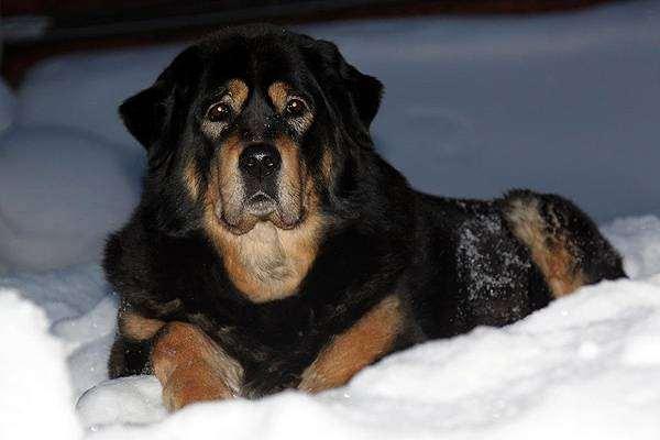 Тибетский мастиф, породы собак фото, собаки фотография