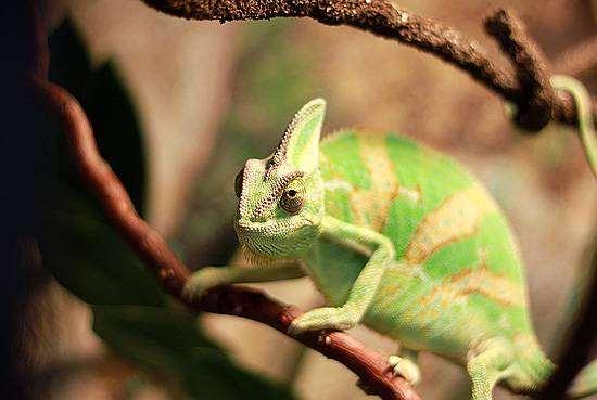 Йеменский хамелеон (Chamaeleo [Chamaeleon] calyptratus), ящерицы фото фотография рептилии