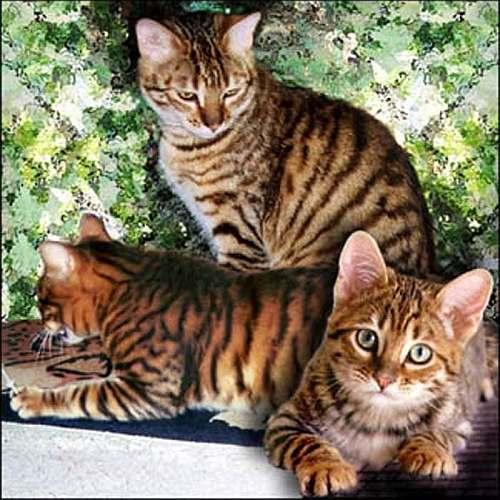 Уссурийская кошка, уссури, фото фотография