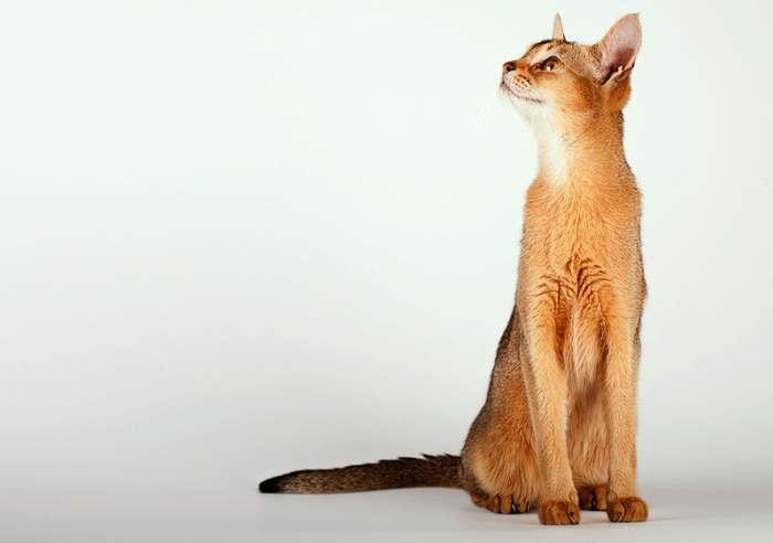 Абиссинская кошка, фото фотография