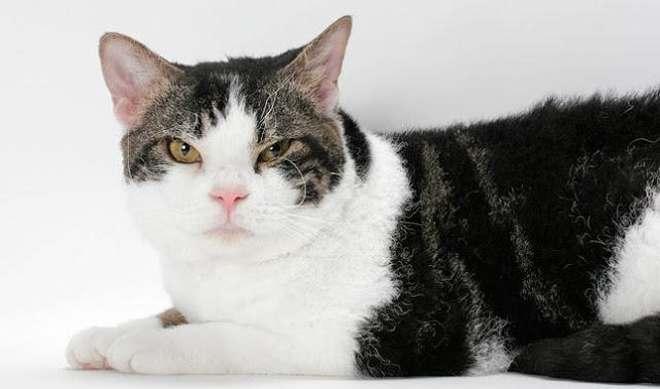 Американская жесткошерстная кошка, фото фотография