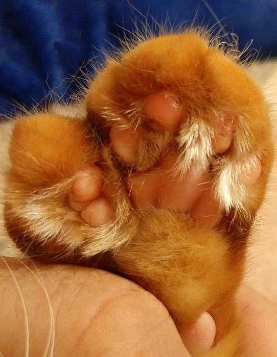 Липа американской многопалой кошки, фото фотография