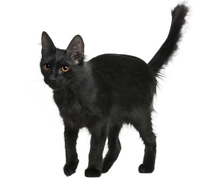 ангора кошка черная