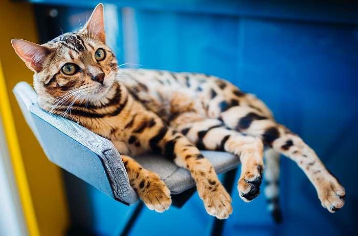 Бенгальская кошка, фото фотография картинка