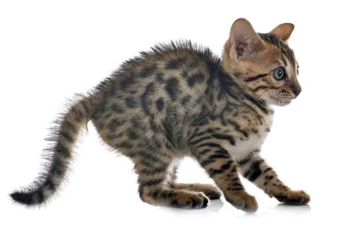 Бенгальский котенок бенгала, фото фотография картинка