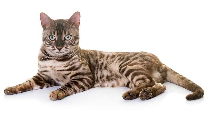 Бенгальский кот бенгал, фото фотография картинка