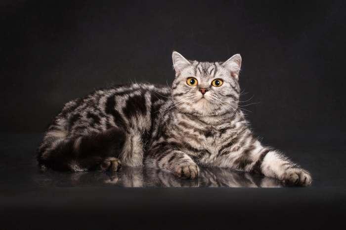 Все о британской породе кошек: фото и описание, характер, цена ... | 467x700