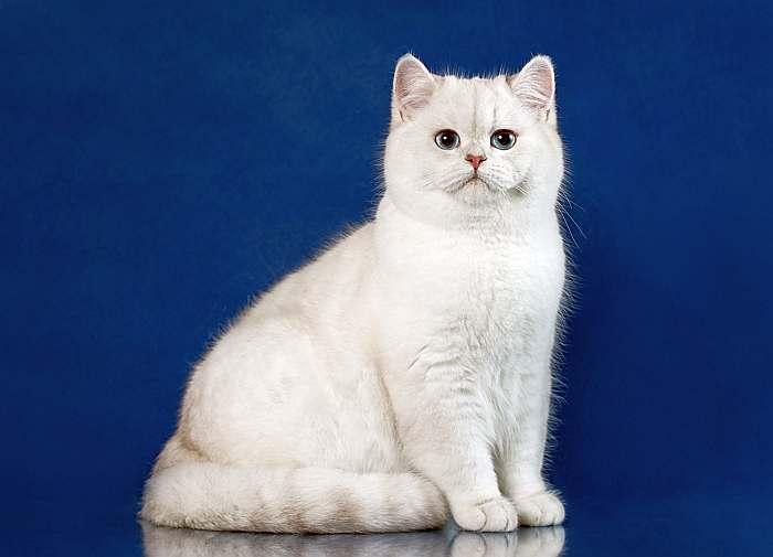 кошки британская короткошерстная