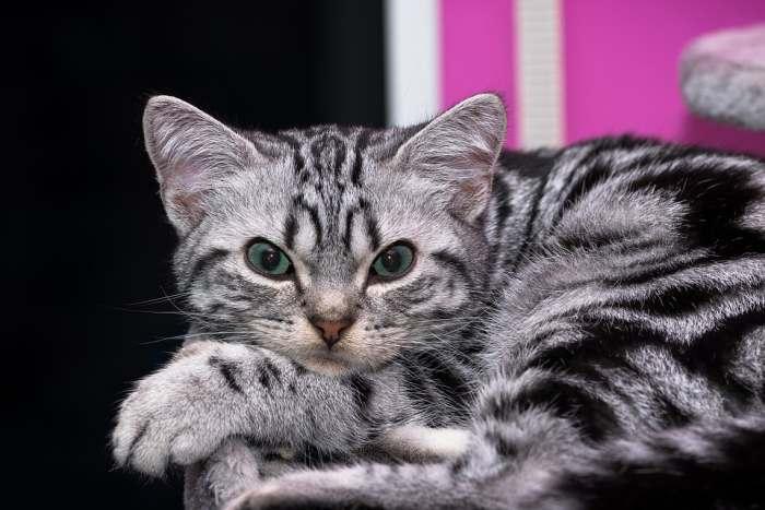 Британские котята растут, фото | 467x700