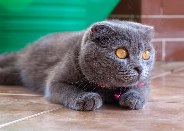 о британских кошках