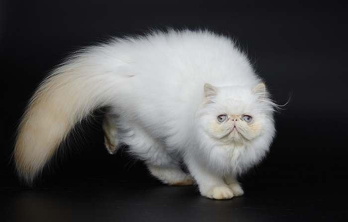 Гималайская кошка, фото породы кошек фотография картинка