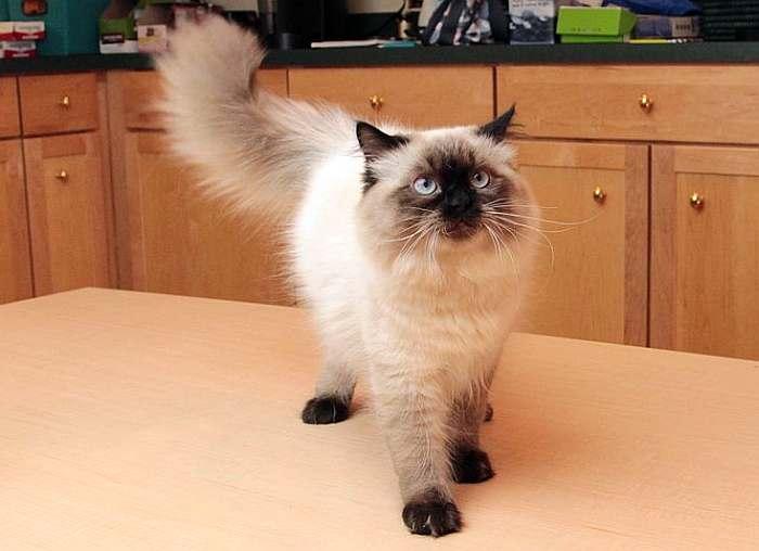 кот гималайский фото