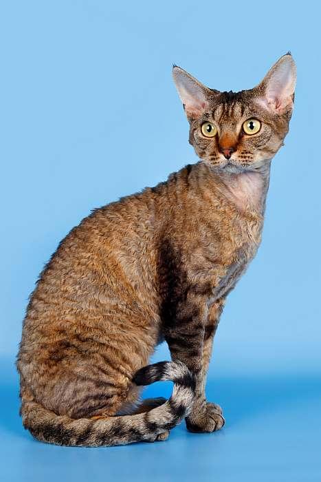 Девон рекс, фотография породы кошек фото