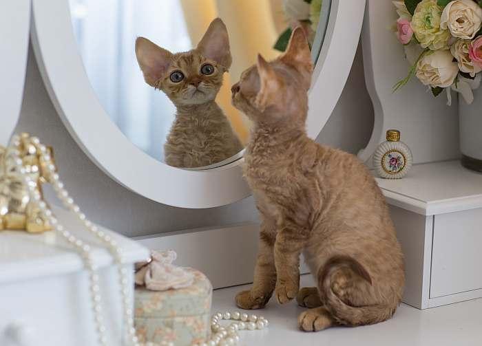 Девон рекс котенок, фотография породы кошек фото