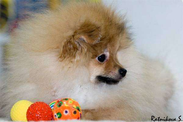 Щенок померанского шпица, фото породы собак выбор собаки фотография