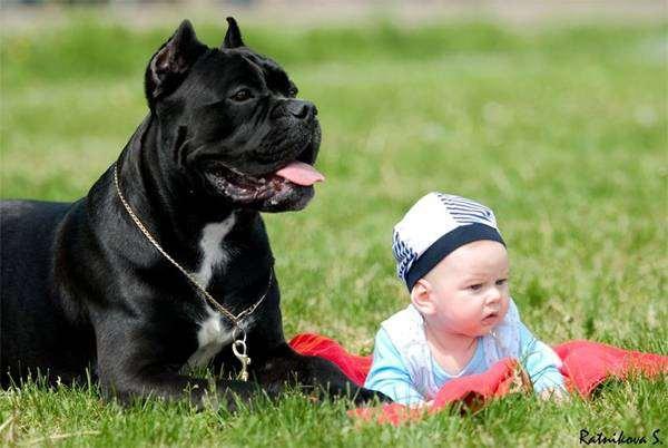 Кане-корсо и ребенок, фото собаки фотография