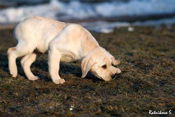 Щенок лабрадора ретривера, фото собаки, фотография породы собак