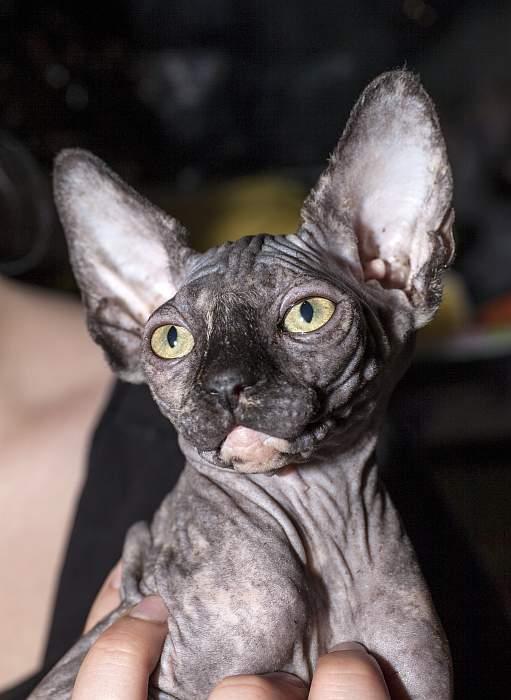 Котенок канадского сфинкса, фото фотография кошки