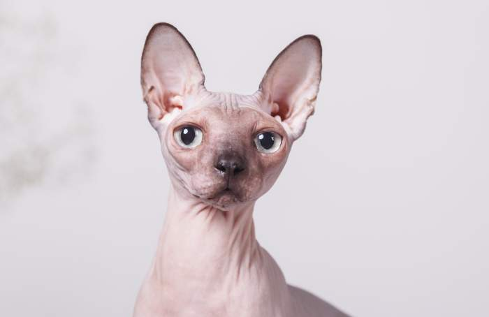 Канадский сфинкс, фото фотография кошки