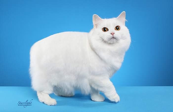 Кимрик (кошка), фото фотография