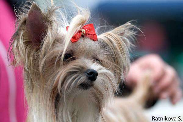 Йоркширский терьер, фото собаки, фото породы собак