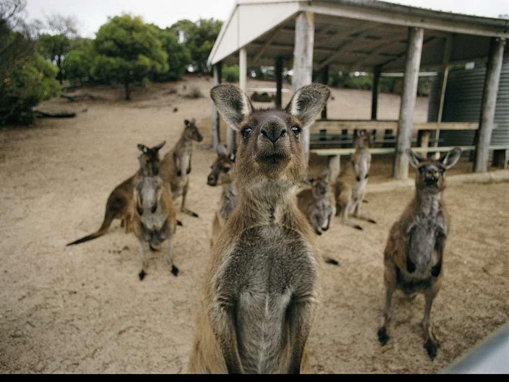 → новинки → кенгуру в зоопарке фото