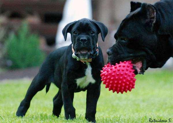 Кане-корсо, фото собаки, фотография породы собак, развитие щенка