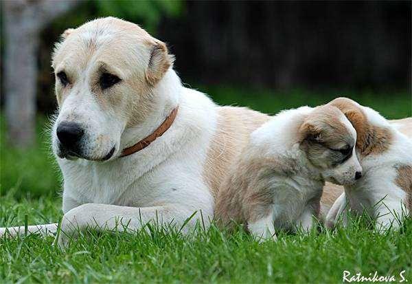 Сука среднеазиатской овчарки со щенками, фото собаки, фотография породы собак изображение