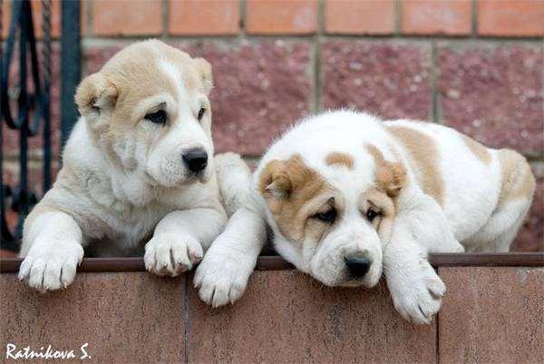 Щенки среднеазиатской овчарки, породы собак фотография, собаки фото