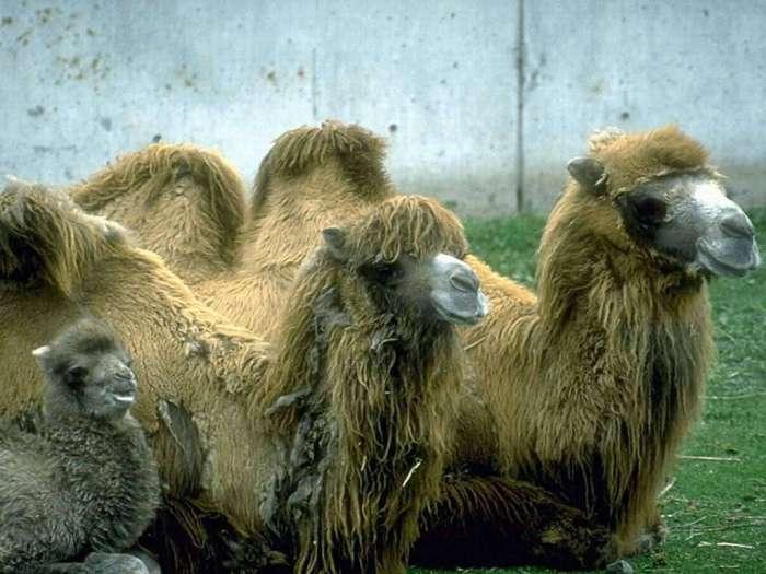 Двугорбые верблюды и верблюжонок, фото картинка мозоленогие животные